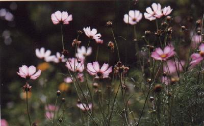 glycine hors floraison