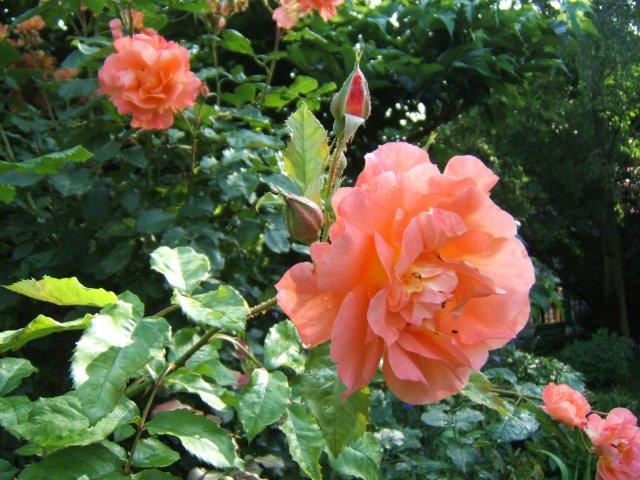 roses claude monet 39 s garden at giverny. Black Bedroom Furniture Sets. Home Design Ideas