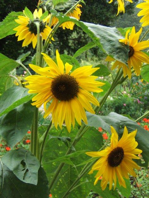 Sunflower Monet S Garden Giverny